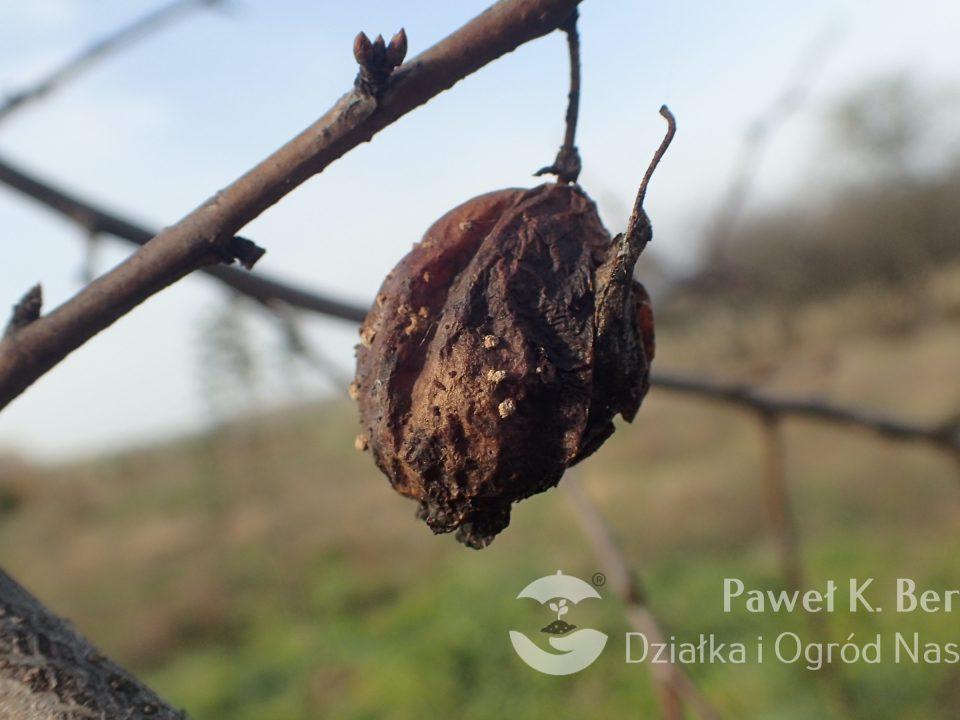 Mumia owocowa - zaschnięty owoc - źródło chorób